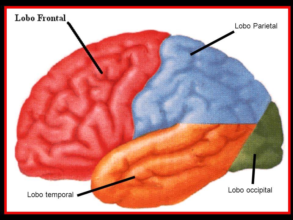 Lobo Parietal Lobo temporal Lobo occipital