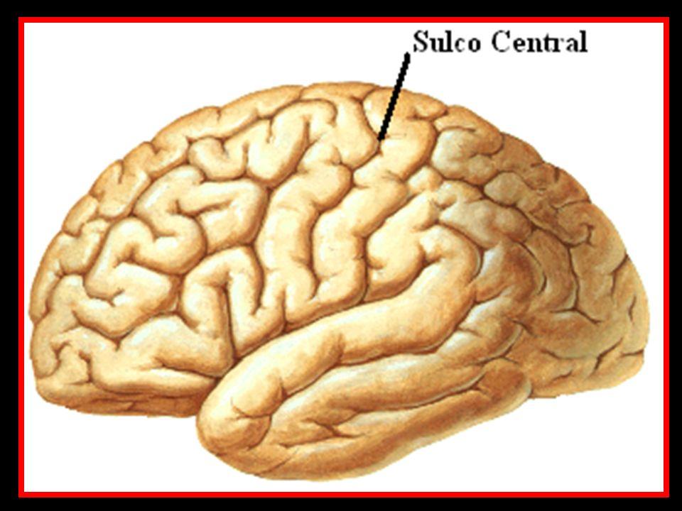 Pedúnculo cerebral (Mesencéfalo) Bulbo
