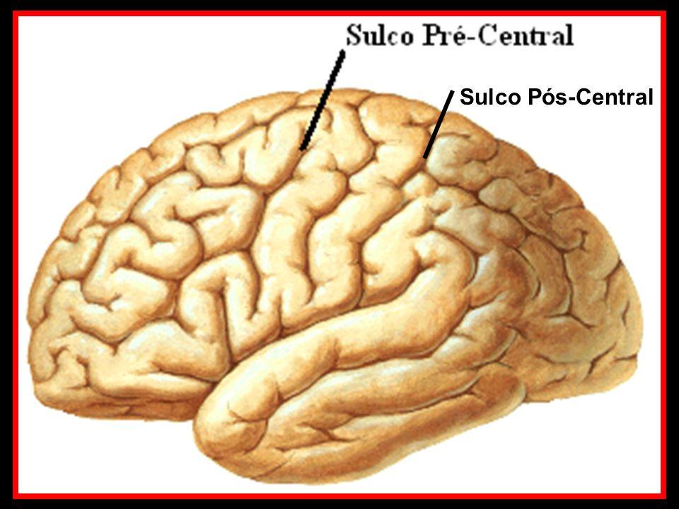 Corno dorsal da Substância cinzenta Corno lateral da Substância cinzenta Corno ventral da Substância cinzenta SUBSTÂNCIA CINZENTA - SENSITIVA