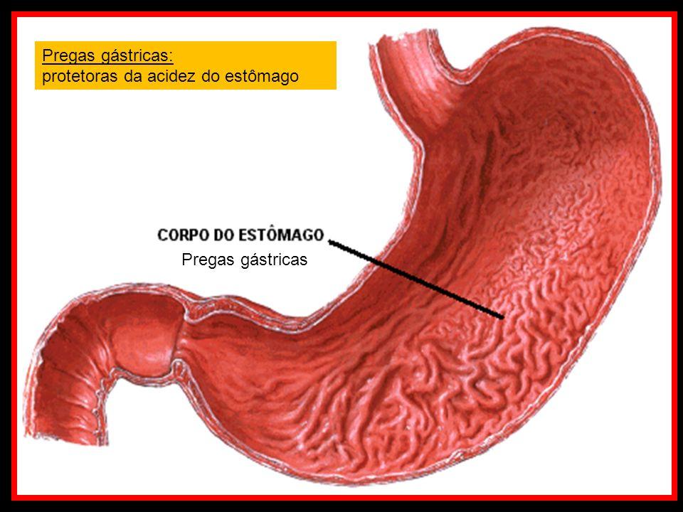 Pregas gástricas Pregas gástricas: protetoras da acidez do estômago