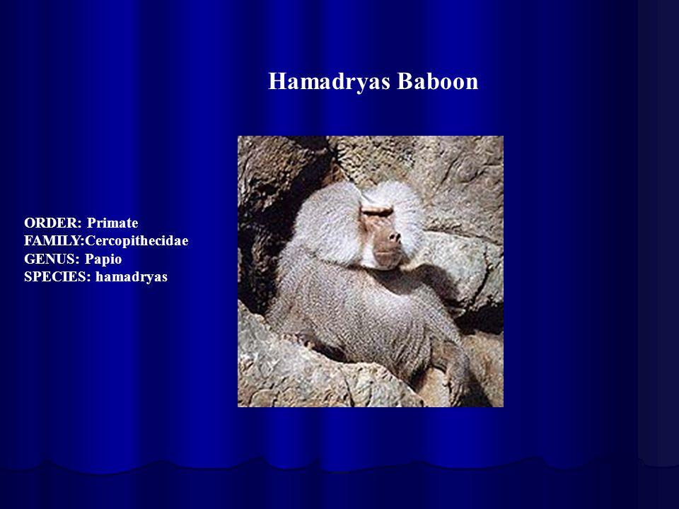 ORDER: Primate FAMILY:Cercopithecidae GENUS: Papio SPECIES: hamadryas Hamadryas Baboon