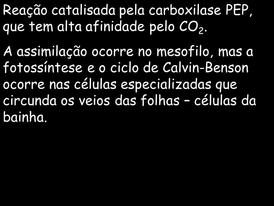 Reação catalisada pela carboxilase PEP, que tem alta afinidade pelo CO 2. A assimilação ocorre no mesofilo, mas a fotossíntese e o ciclo de Calvin-Ben
