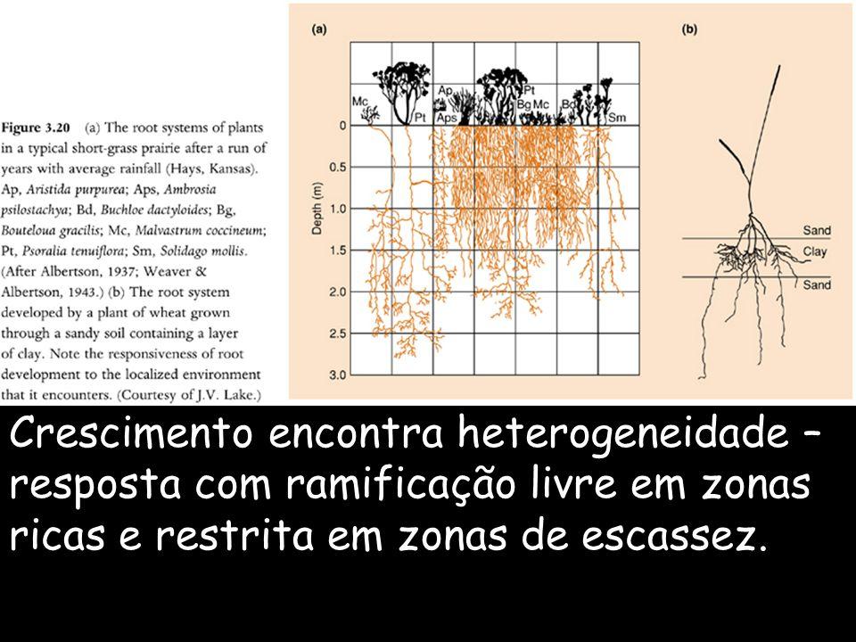 Crescimento encontra heterogeneidade – resposta com ramificação livre em zonas ricas e restrita em zonas de escassez.