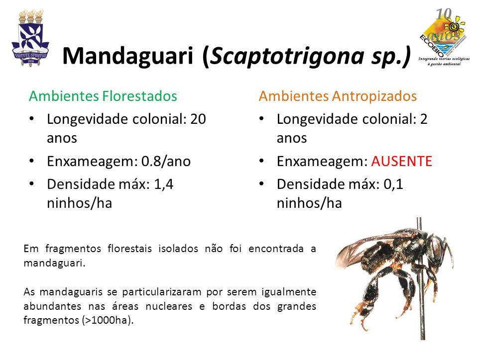 Mandaguari (Scaptotrigona sp.) Ambientes Florestados Longevidade colonial: 20 anos Enxameagem: 0.8/ano Densidade máx: 1,4 ninhos/ha Ambientes Antropiz
