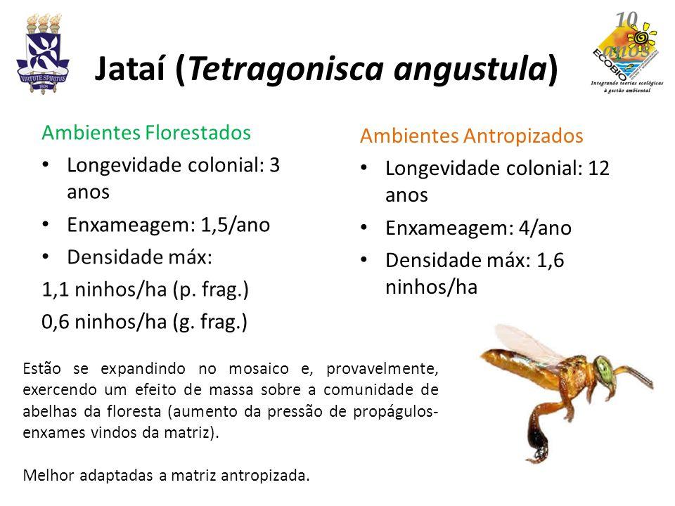 Jataí (Tetragonisca angustula) Ambientes Florestados Longevidade colonial: 3 anos Enxameagem: 1,5/ano Densidade máx: 1,1 ninhos/ha (p. frag.) 0,6 ninh