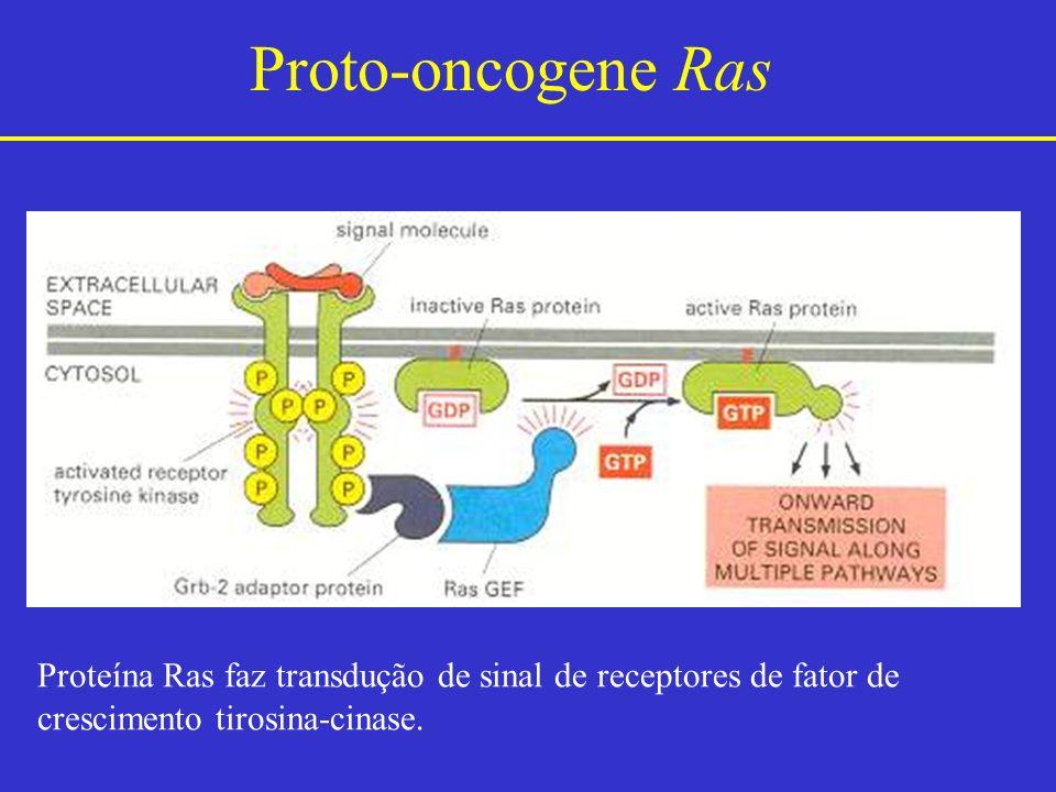 Proto-oncogene Ras Proteína Ras faz transdução de sinal de receptores de fator de crescimento tirosina-cinase.