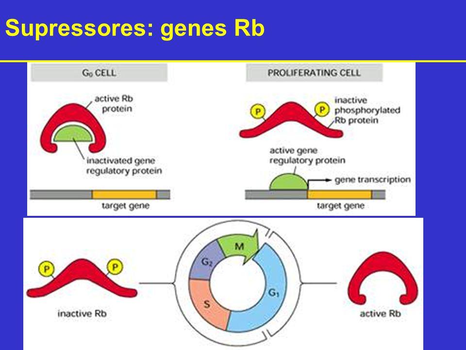 Supressores: genes Rb