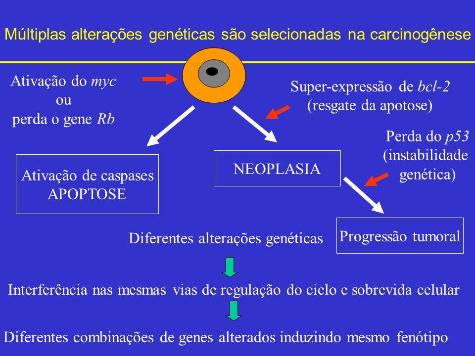 Múltiplas alterações genéticas são selecionadas na carcinogênese Diferentes alterações genéticas Interferência nas mesmas vias de regulação do ciclo e