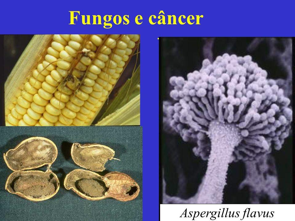 Fungos e câncer Aspergillus flavus