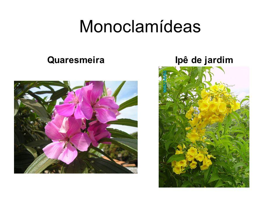 Monoclamídeas QuaresmeiraIpê de jardim