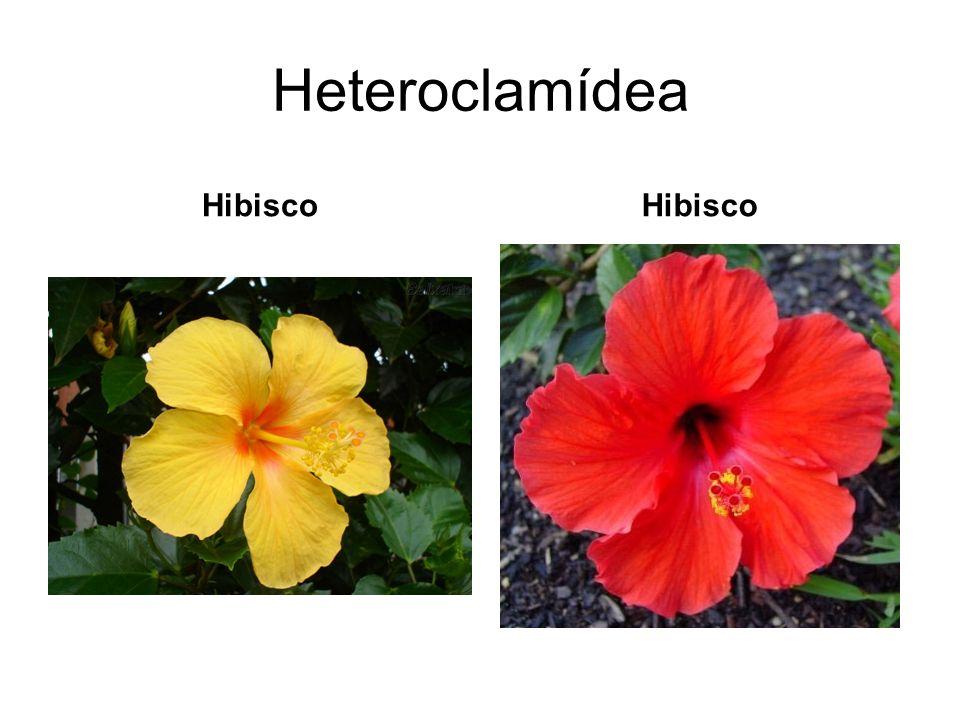 Heteroclamídea Hibisco
