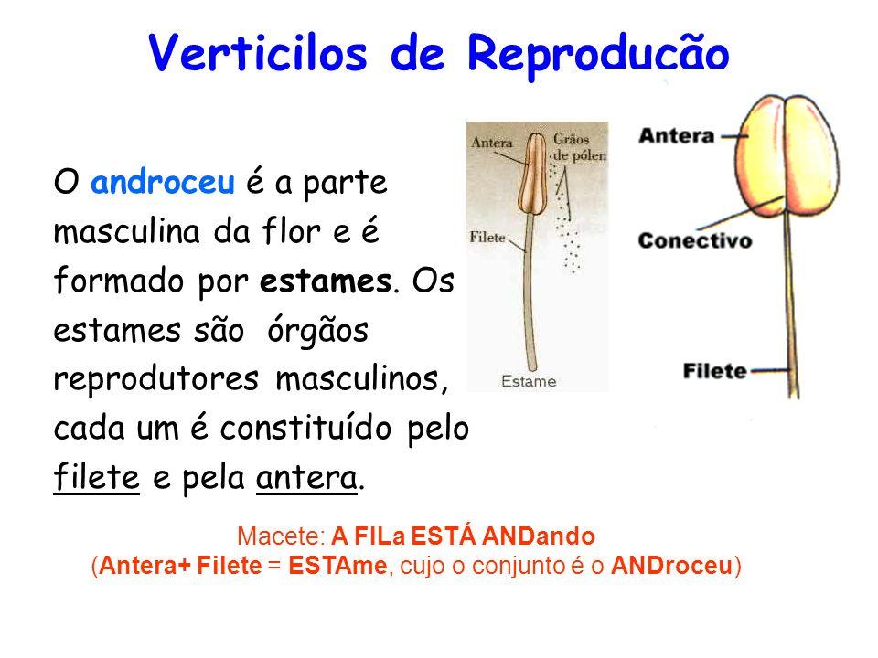 Verticilos de Reprodução O androceu é a parte masculina da flor e é formado por estames. Os estames são órgãos reprodutores masculinos, cada um é cons