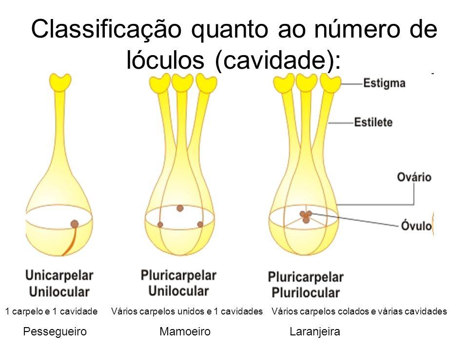 Classificação quanto ao número de lóculos (cavidade): Pessegueiro Mamoeiro Laranjeira 1 carpelo e 1 cavidade Vários carpelos unidos e 1 cavidades Vári