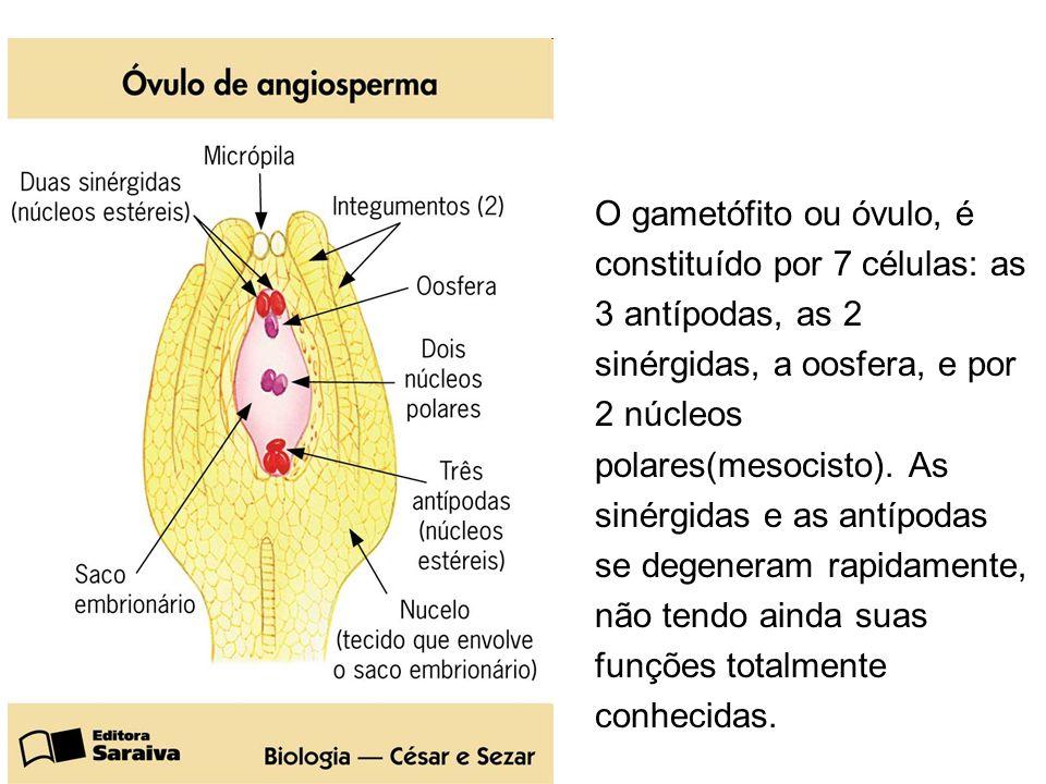 O gametófito ou óvulo, é constituído por 7 células: as 3 antípodas, as 2 sinérgidas, a oosfera, e por 2 núcleos polares(mesocisto). As sinérgidas e as