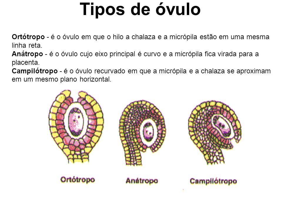 Tipos de óvulo Ortótropo - é o óvulo em que o hilo a chalaza e a micrópila estão em uma mesma linha reta. Anátropo - é o óvulo cujo eixo principal é c