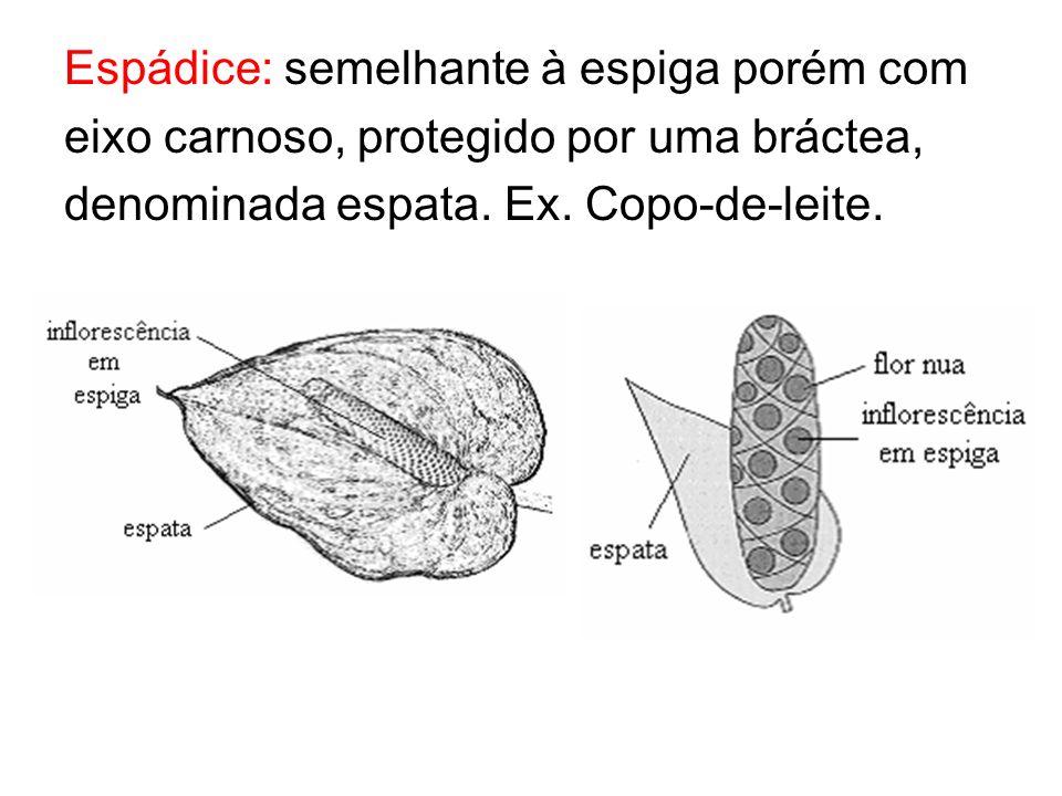 Espádice: semelhante à espiga porém com eixo carnoso, protegido por uma bráctea, denominada espata. Ex. Copo-de-leite.