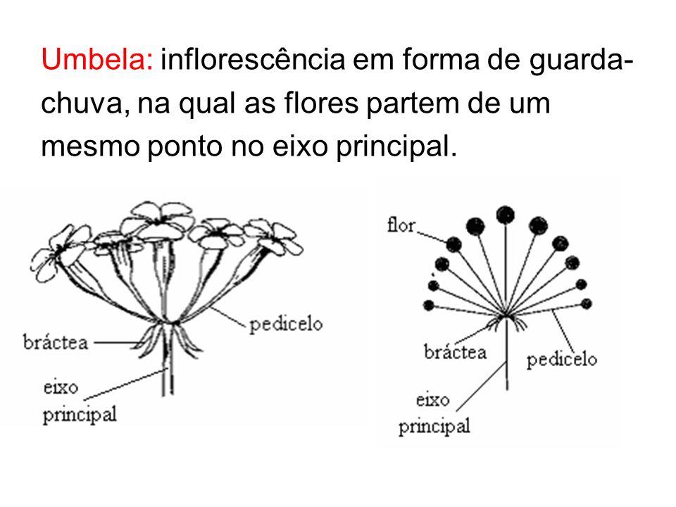 Umbela: inflorescência em forma de guarda- chuva, na qual as flores partem de um mesmo ponto no eixo principal.