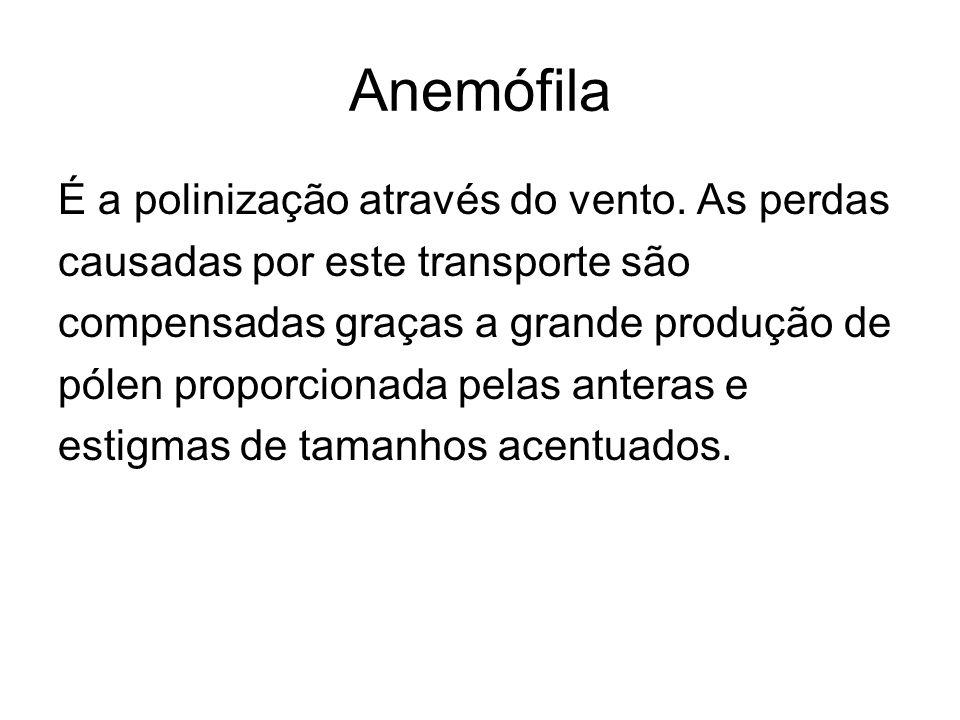 Anemófila É a polinização através do vento. As perdas causadas por este transporte são compensadas graças a grande produção de pólen proporcionada pel