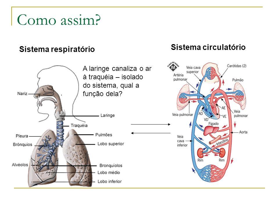 Como assim? Sistema respiratório A laringe canaliza o ar à traquéia – isolado do sistema, qual a função dela? Sistema circulatório