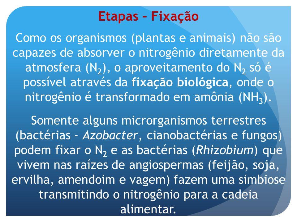 Etapas – Fixação Como os organismos (plantas e animais) não são capazes de absorver o nitrogênio diretamente da atmosfera (N 2 ), o aproveitamento do