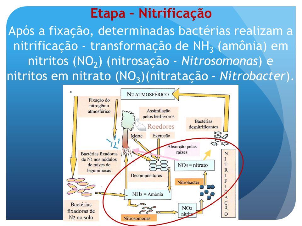 Após a fixação, determinadas bactérias realizam a nitrificação - transformação de NH 3 (amônia) em nitritos (NO 2 ) (nitrosação - Nitrosomonas) e nitr