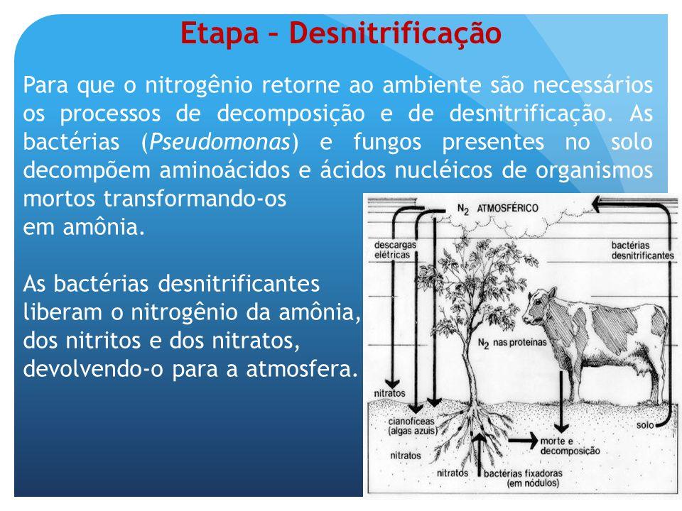 Etapa – Desnitrificação Para que o nitrogênio retorne ao ambiente são necessários os processos de decomposição e de desnitrificação. As bactérias (Pse