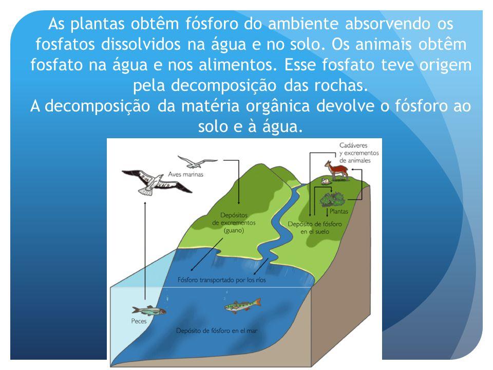 As plantas obtêm fósforo do ambiente absorvendo os fosfatos dissolvidos na água e no solo. Os animais obtêm fosfato na água e nos alimentos. Esse fosf
