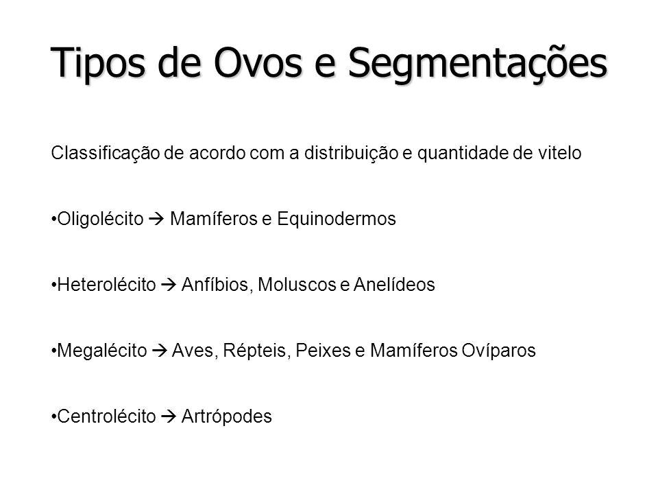 Tipos de Ovos e Segmentações Classificação de acordo com a distribuição e quantidade de vitelo Oligolécito Mamíferos e Equinodermos Heterolécito Anfíb