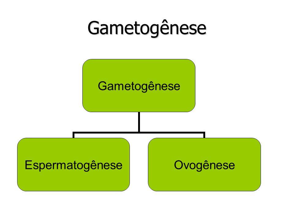 Espermatogênese Fase de Multiplicação ou Germinativa – Ciclo de mitoses que dura a vida toda.