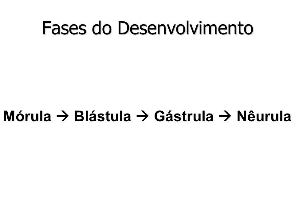 Fases do Desenvolvimento Mórula Blástula Gástrula Nêurula