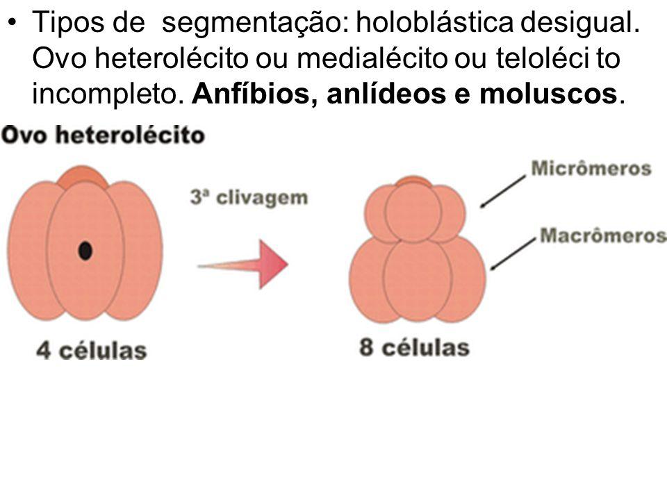 Tipos de segmentação: holoblástica desigual. Ovo heterolécito ou medialécito ou teloléci to incompleto. Anfíbios, anlídeos e moluscos.