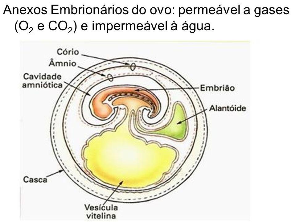 Anexos Embrionários do ovo: permeável a gases (O 2 e CO 2 ) e impermeável à água.