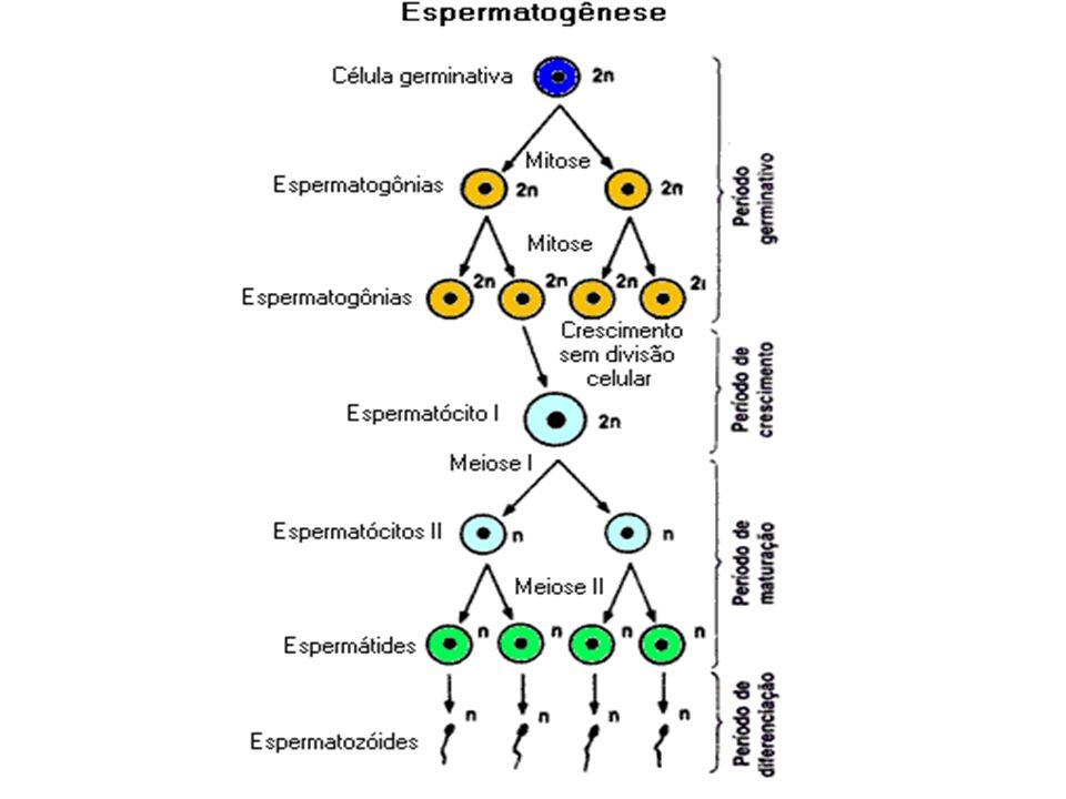 Espermiogênese