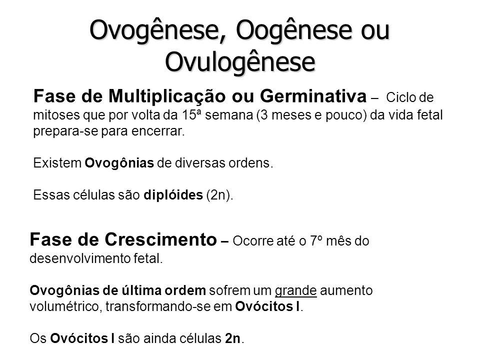 Ovogênese, Oogênese ou Ovulogênese Fase de Multiplicação ou Germinativa – Ciclo de mitoses que por volta da 15ª semana (3 meses e pouco) da vida fetal