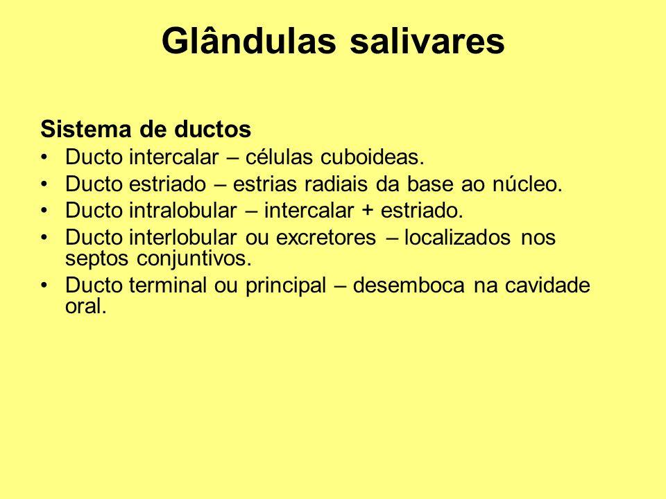Glândulas salivares Sistema de ductos Ducto intercalar – células cuboideas. Ducto estriado – estrias radiais da base ao núcleo. Ducto intralobular – i