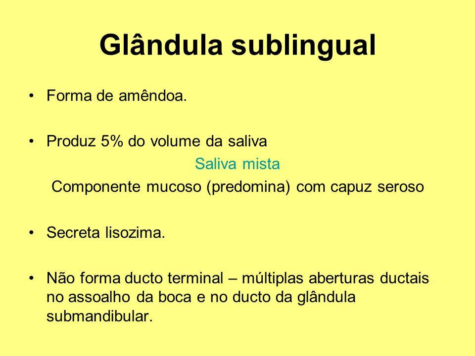 Glândula sublingual Forma de amêndoa. Produz 5% do volume da saliva Saliva mista Componente mucoso (predomina) com capuz seroso Secreta lisozima. Não