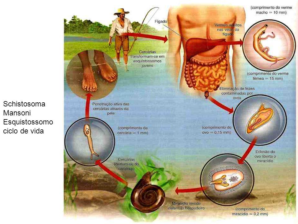 Schistosoma Mansoni Esquistossomo ciclo de vida