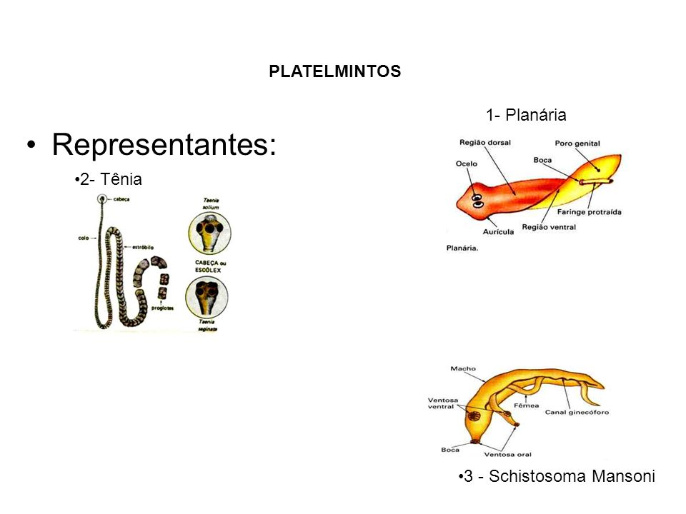 Representantes: PLATELMINTOS 1- Planária 2- Tênia 3 - Schistosoma Mansoni