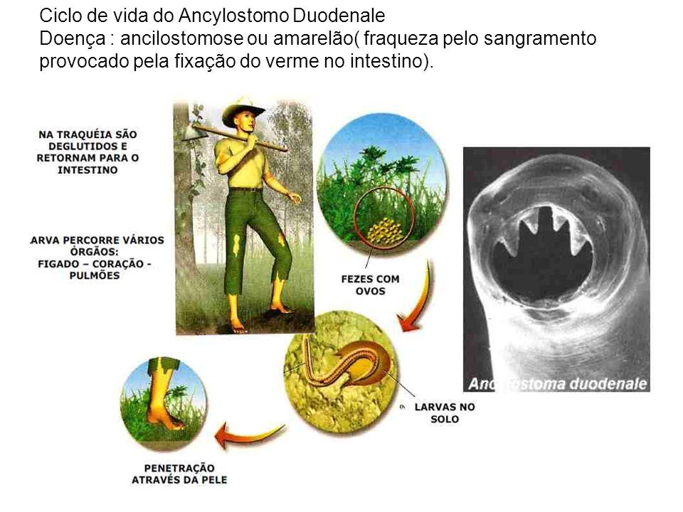 Ciclo de vida do Ancylostomo Duodenale Doença : ancilostomose ou amarelão( fraqueza pelo sangramento provocado pela fixação do verme no intestino).