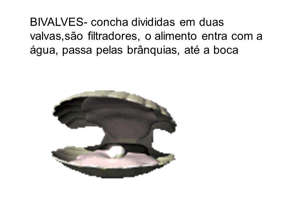 BIVALVES- concha divididas em duas valvas,são filtradores, o alimento entra com a água, passa pelas brânquias, até a boca
