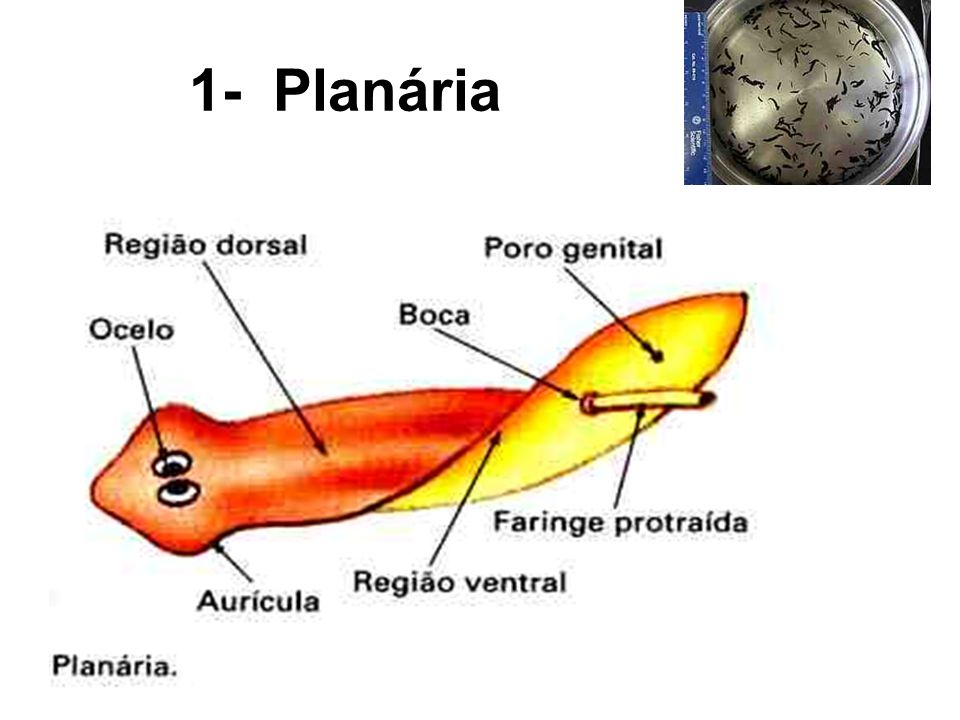 Planária – reprodução : sexuada e assexuada