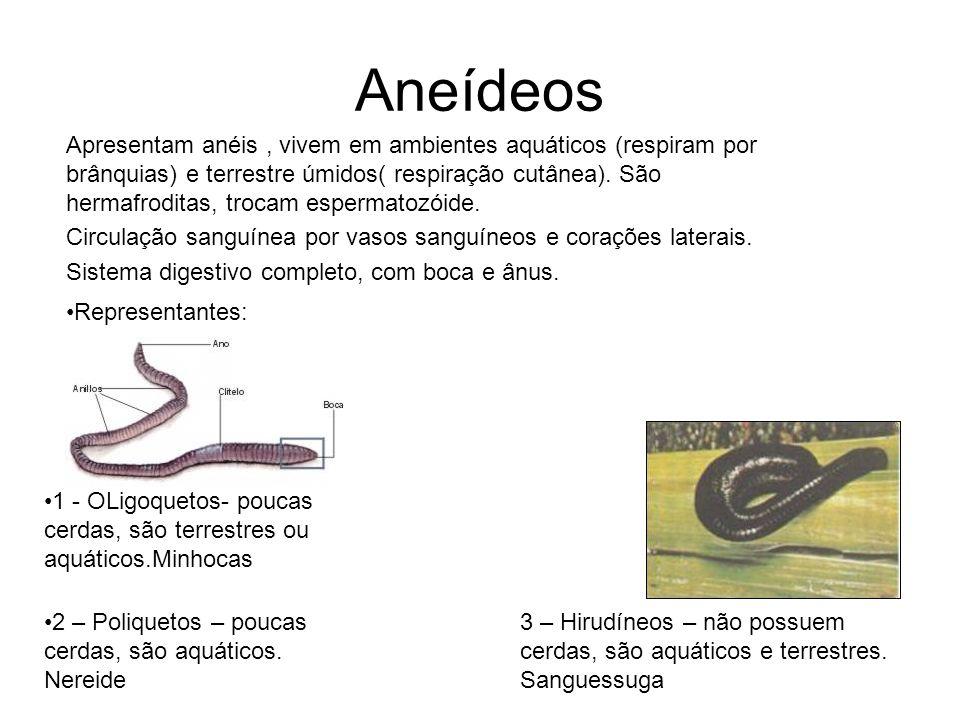 Aneídeos 1 - OLigoquetos- poucas cerdas, são terrestres ou aquáticos.Minhocas 2 – Poliquetos – poucas cerdas, são aquáticos. Nereide 3 – Hirudíneos –