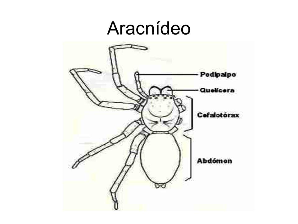 Aracnídeo