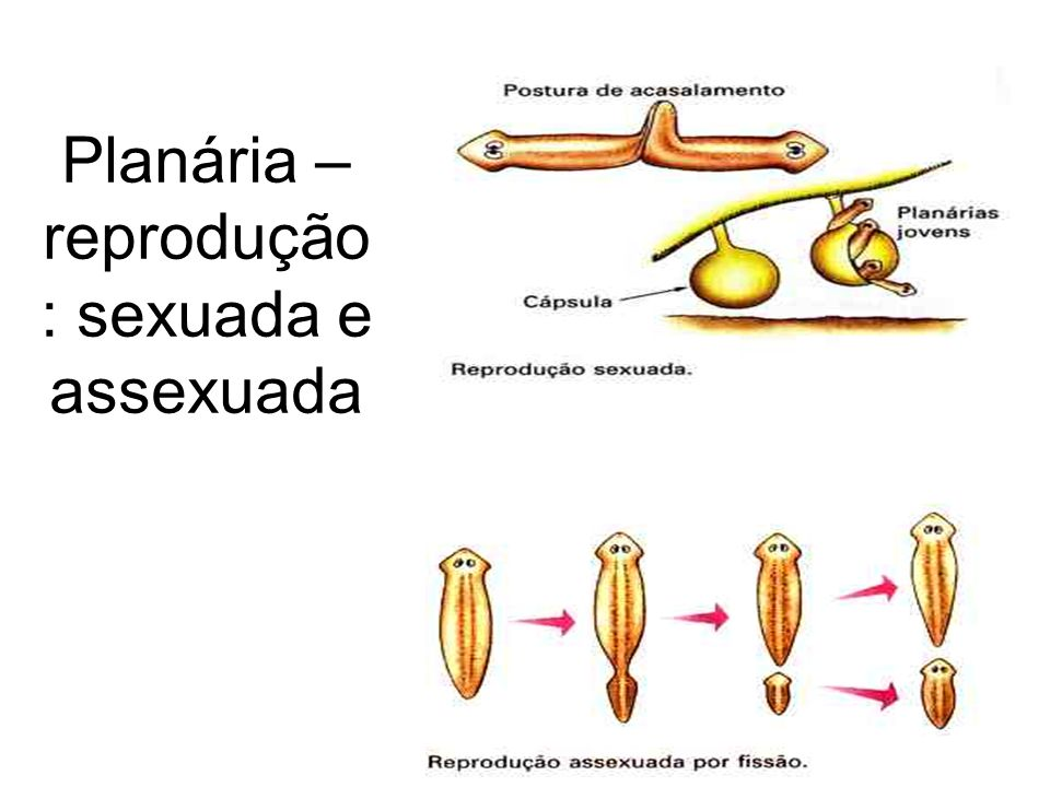 Planária - reprodução sexuada