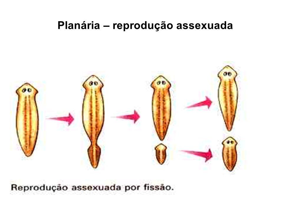 GASTRÓPODES Terrestres – caracois Aquáticos – caramujos Sistema digestivo apoiado nos pés.