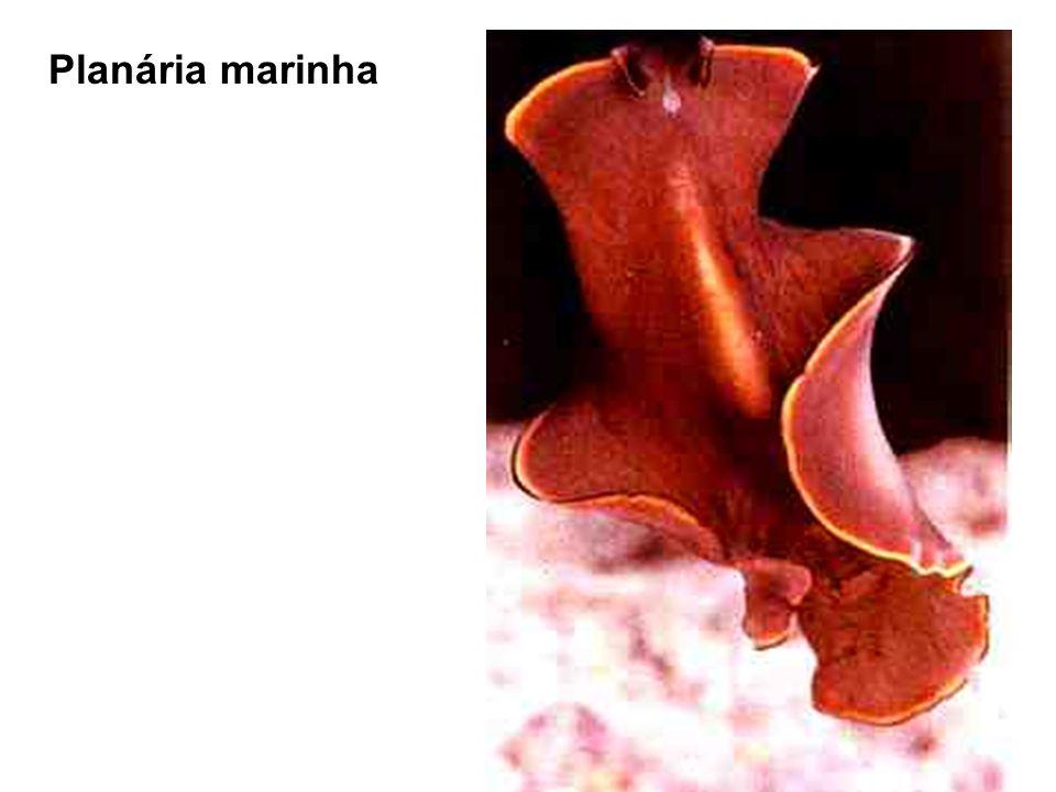 Nas tênias a região posterior do corpo é formada por Proglótides, estruturas reprodutoras masculina e feminina, são hermagroditas.