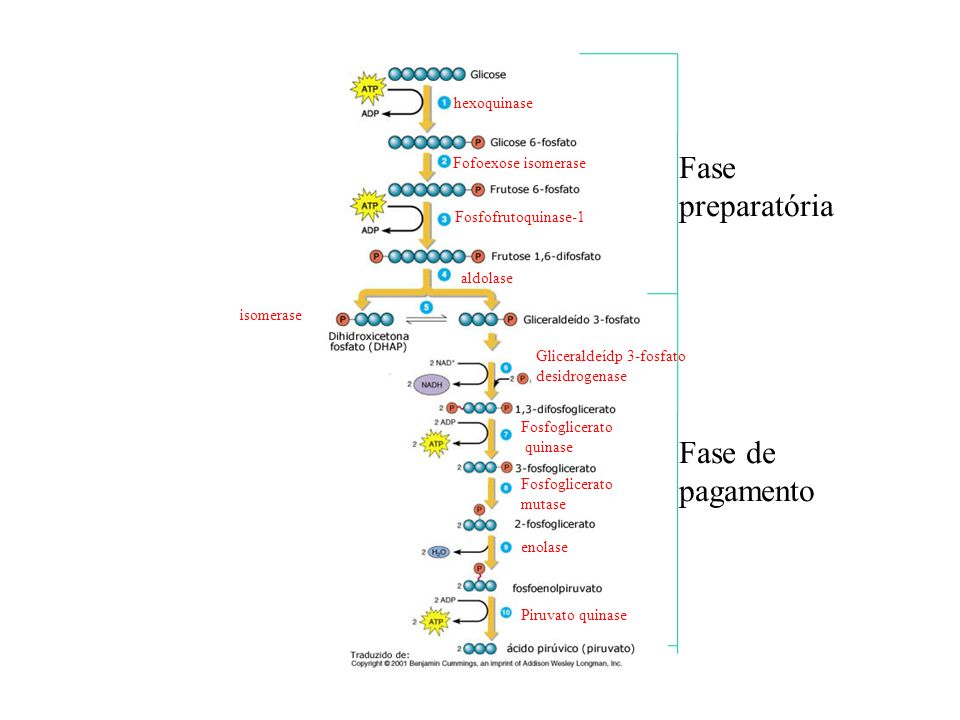 Fase preparatória Fase de pagamento hexoquinase Fofoexose isomerase Fosfofrutoquinase-1 aldolase isomerase Gliceraldeídp 3-fosfato desidrogenase Fosfo