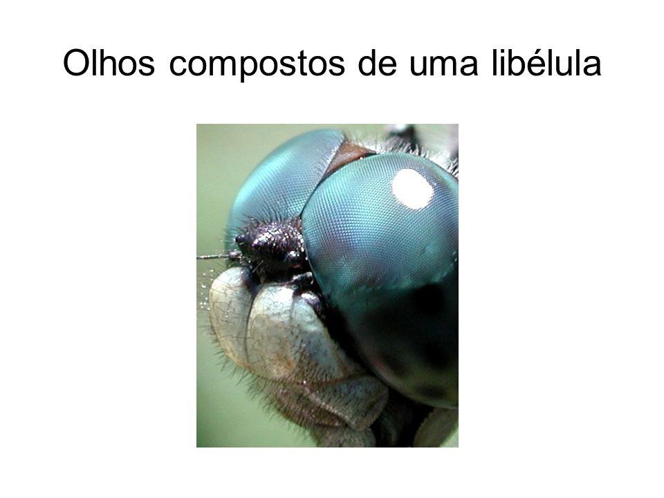 Olhos compostos de uma libélula