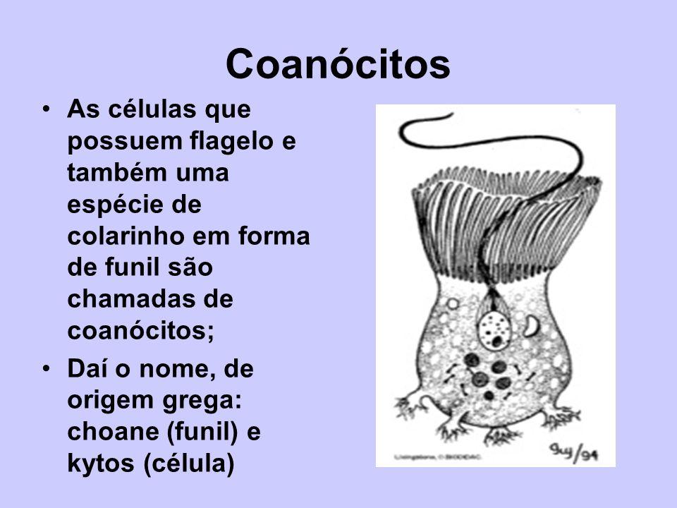 Coanócitos As células que possuem flagelo e também uma espécie de colarinho em forma de funil são chamadas de coanócitos; Daí o nome, de origem grega: