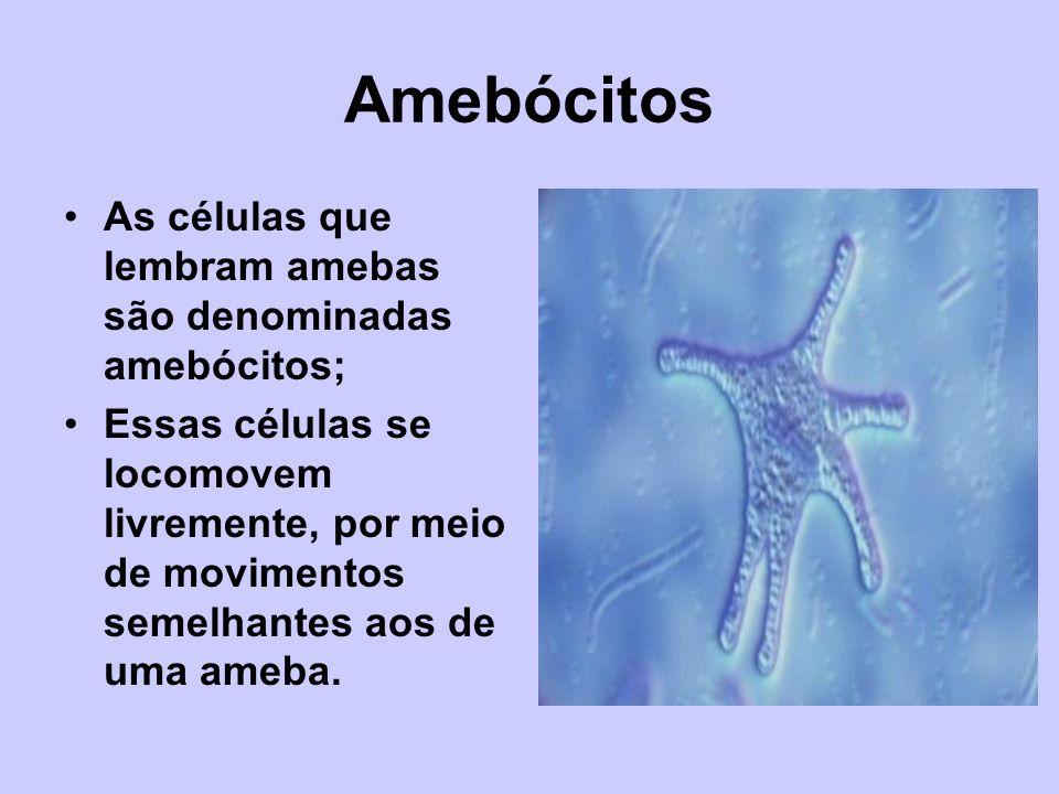 Amebócitos As células que lembram amebas são denominadas amebócitos; Essas células se locomovem livremente, por meio de movimentos semelhantes aos de